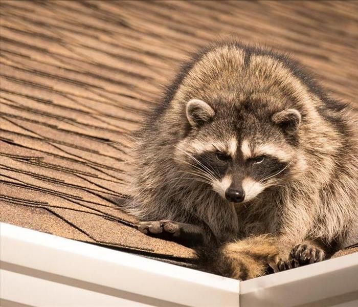 raccoon on edge of shingled roof